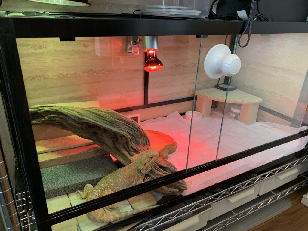 ケージ内のフトアゴヒゲトカゲ