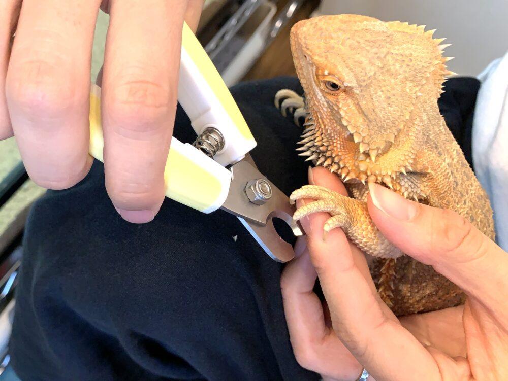 フトアゴヒゲトカゲの爪切り