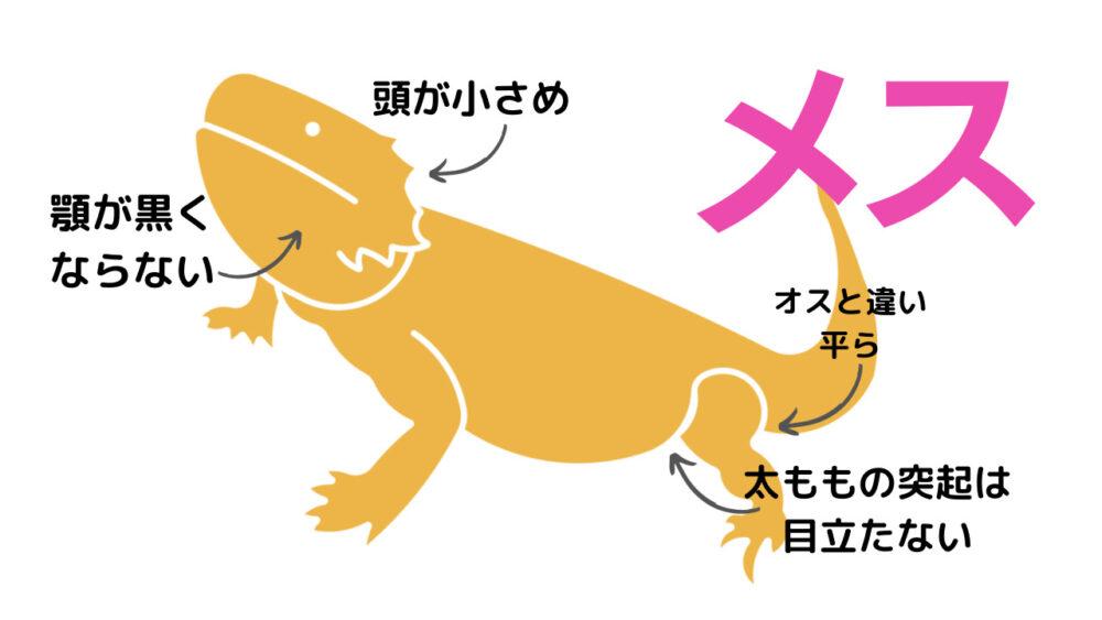 フトアゴヒゲトカゲのメスの特徴