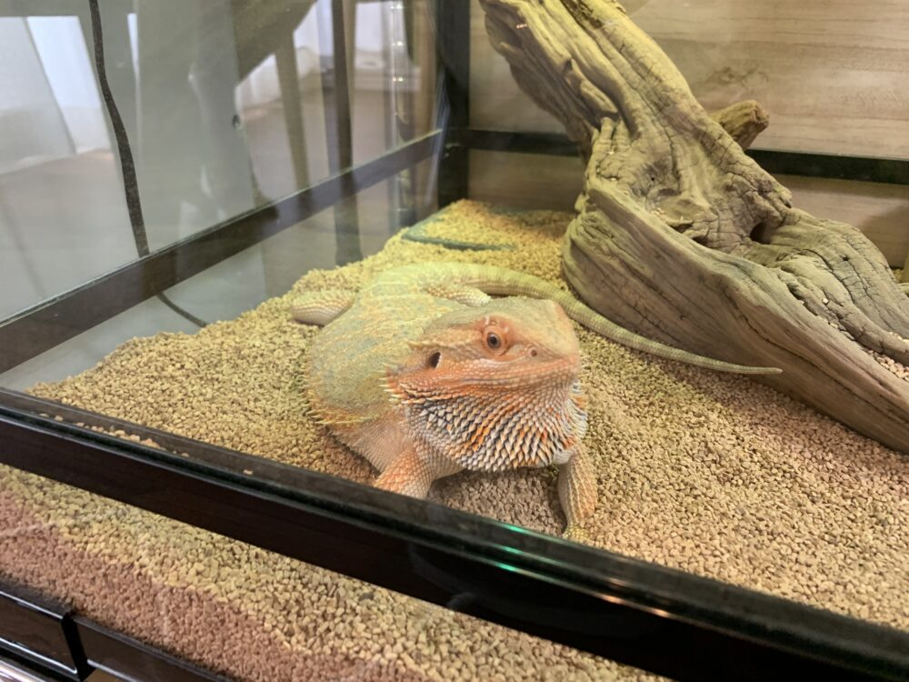 顎を膨らませるフトアゴヒゲトカゲ