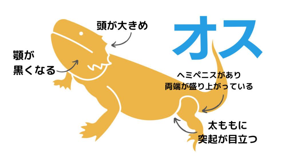 フトアゴヒゲトカゲのオスの特徴