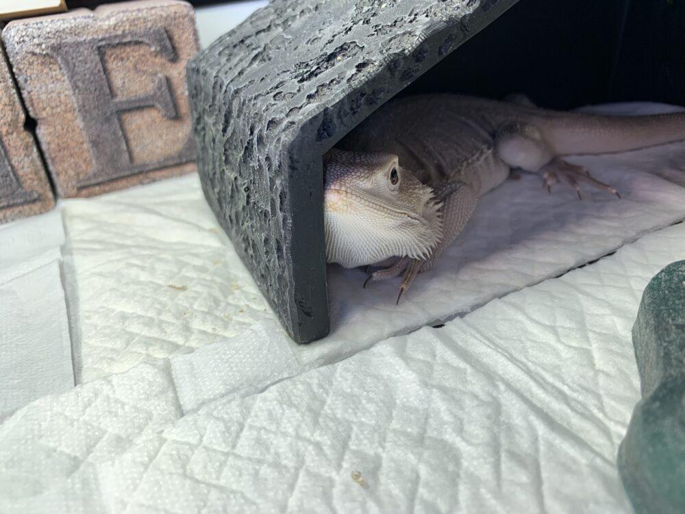 シェルターに隠れるフトアゴヒゲトカゲ