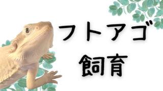 フトアゴ飼育